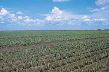 Plant Aloe Vera1