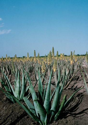 Plant Aloe Vera2